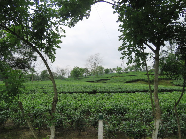 The tea gardens adjoining Jeypore town.