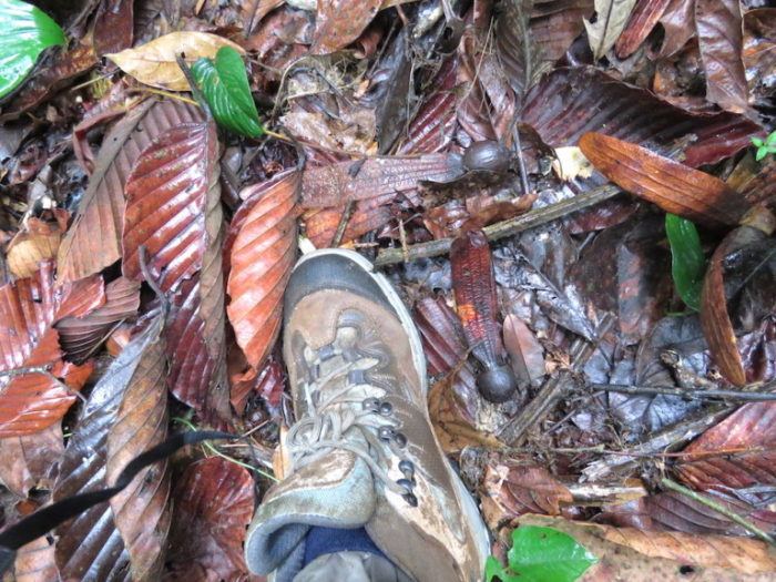 Leaves of the Hollong tree on the forest floor, next to my muddy shoes.