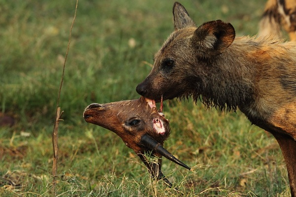 Food Chain Of A African Wild Dog