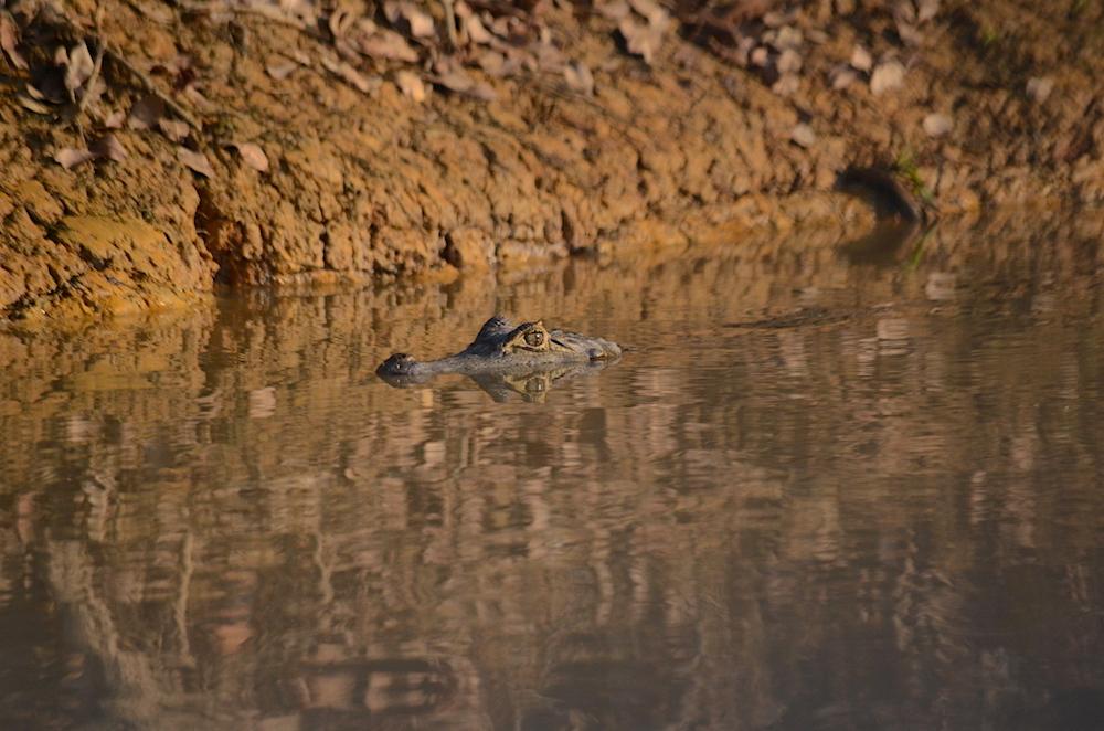 caiman-reflection