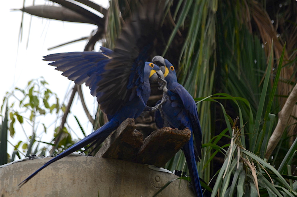 dancing-hyacinth-macaws