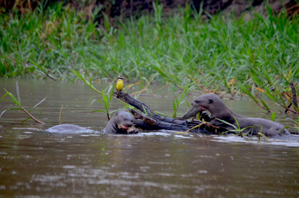 giant-river-otters