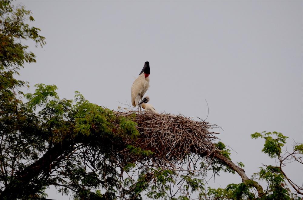 jabiru-and-fledgling