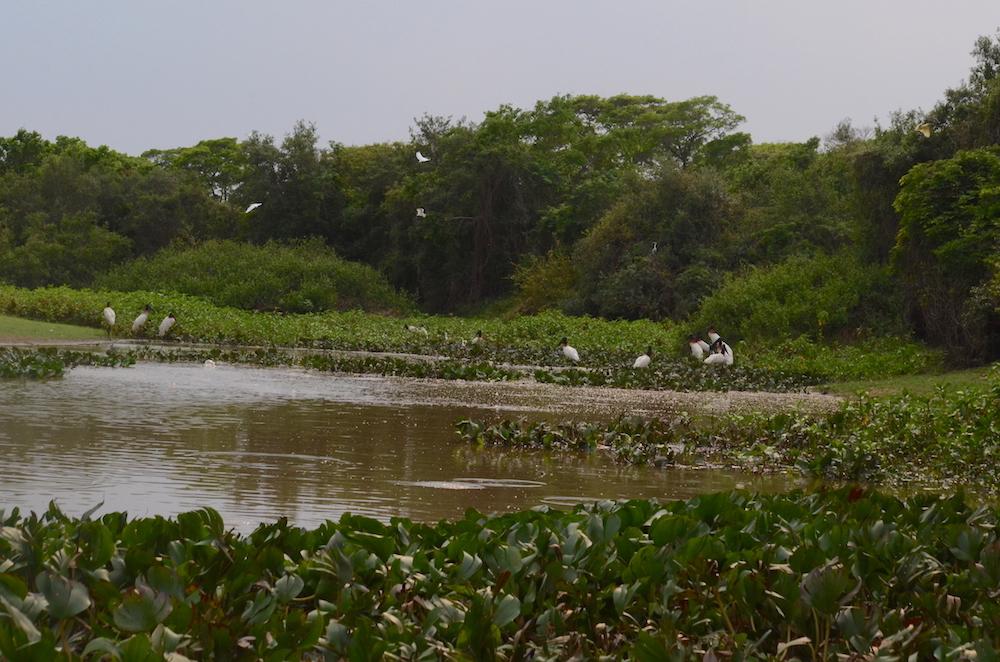 jabiru-stork-colony