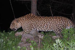 Leopard Binsar